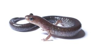 Red-backed salamander, lead morph